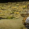 Остров Икария ... всички жаби скачат във водата, но тази си мисли, че е невидима ...