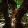 ... ние сме в сърцето на Ради гора, най - старата гора в Икария с вековни дървета ...