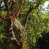 """... уникално дърво в тази област: Arbutus Andrachne на гръцки """"Andraklos"""" ... което си съблича кора като змия..."""