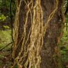... влаголюбива гора ... около стволове са залепени десетки увивни растения.